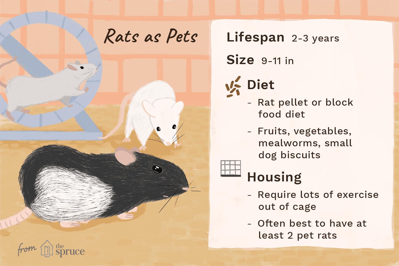 Ilustración de ratas como mascotas