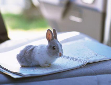Rabbit in car