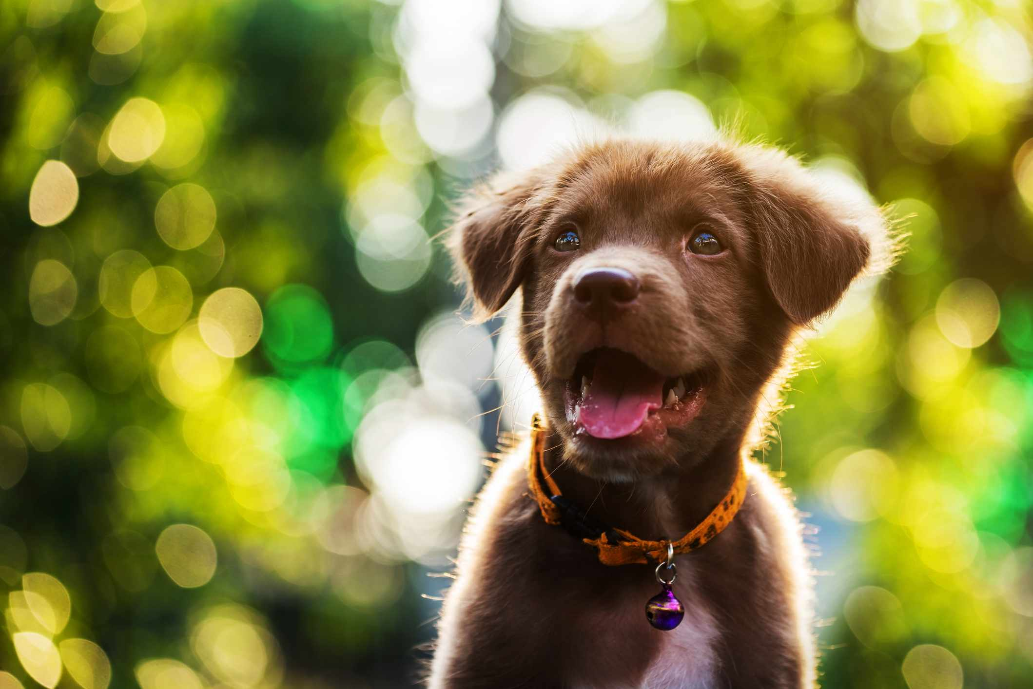 Toller puppy outside smiling and looking up.