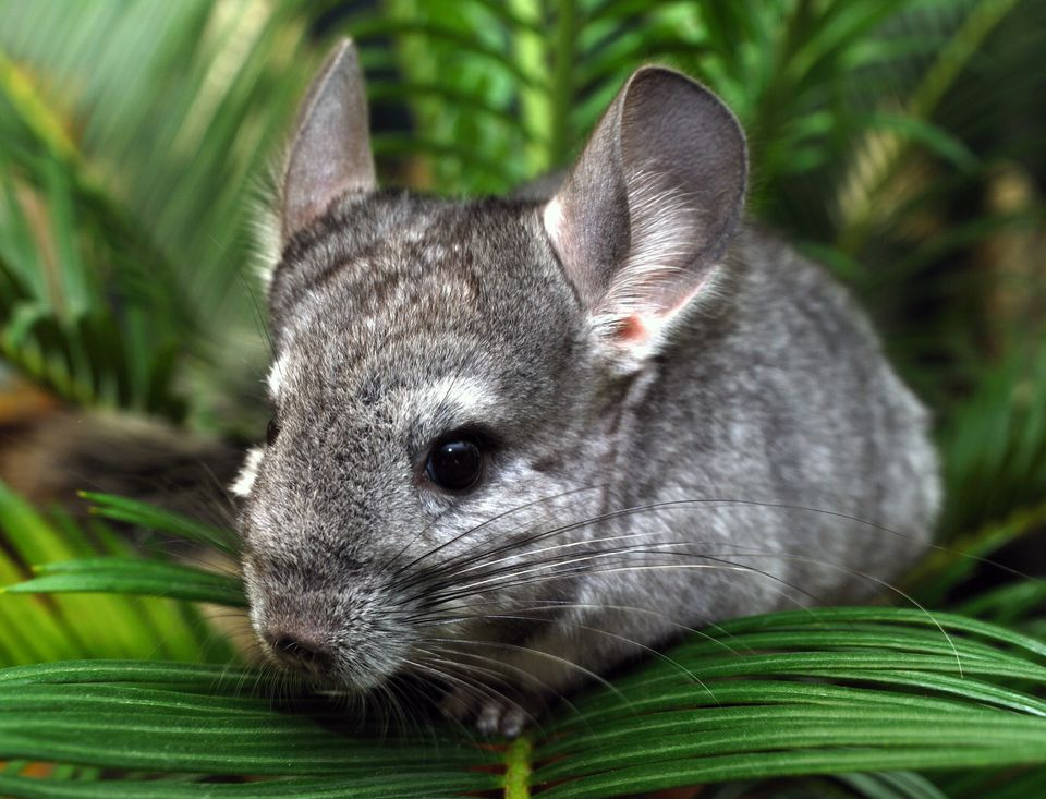 Chinchilla, close up