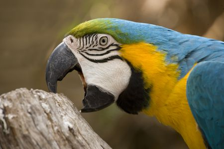 Bluffing (Biting) Behavior in Parrots