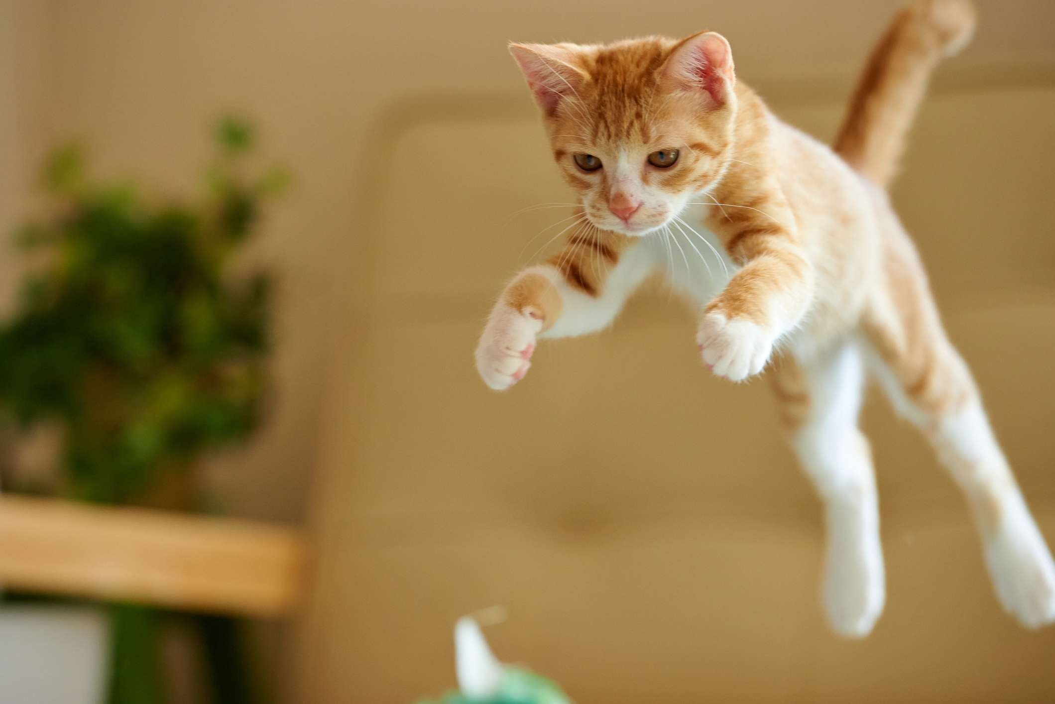 Orange kitten jumping