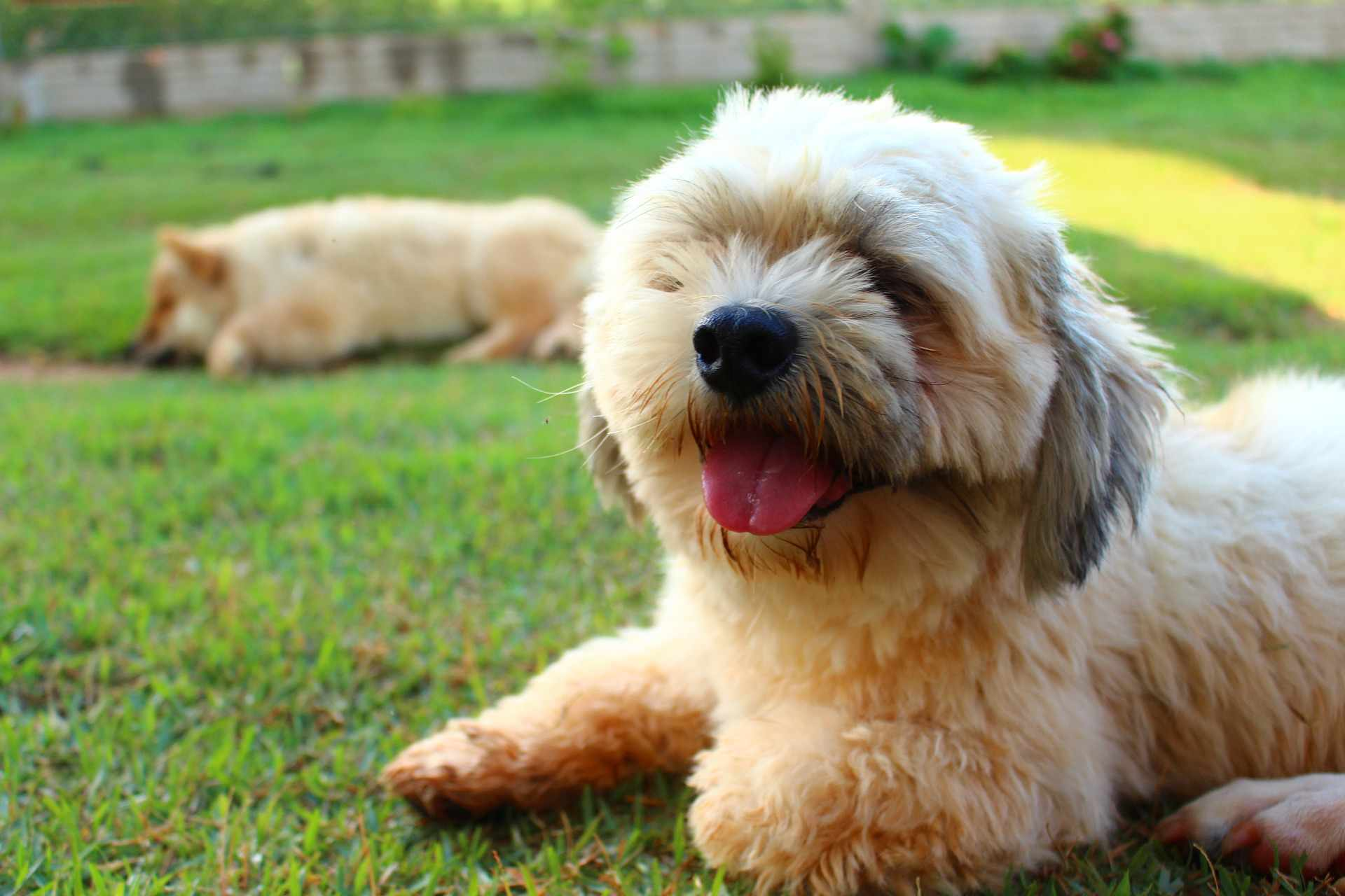 A Lhasa Apso puppy smiling for the camera.