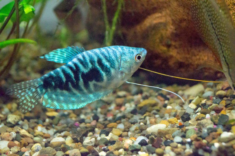 Opaline Gourami fish