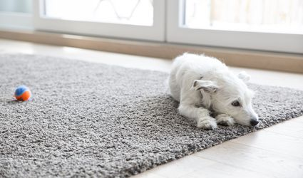 Litlle dog lying on carpet in the living room