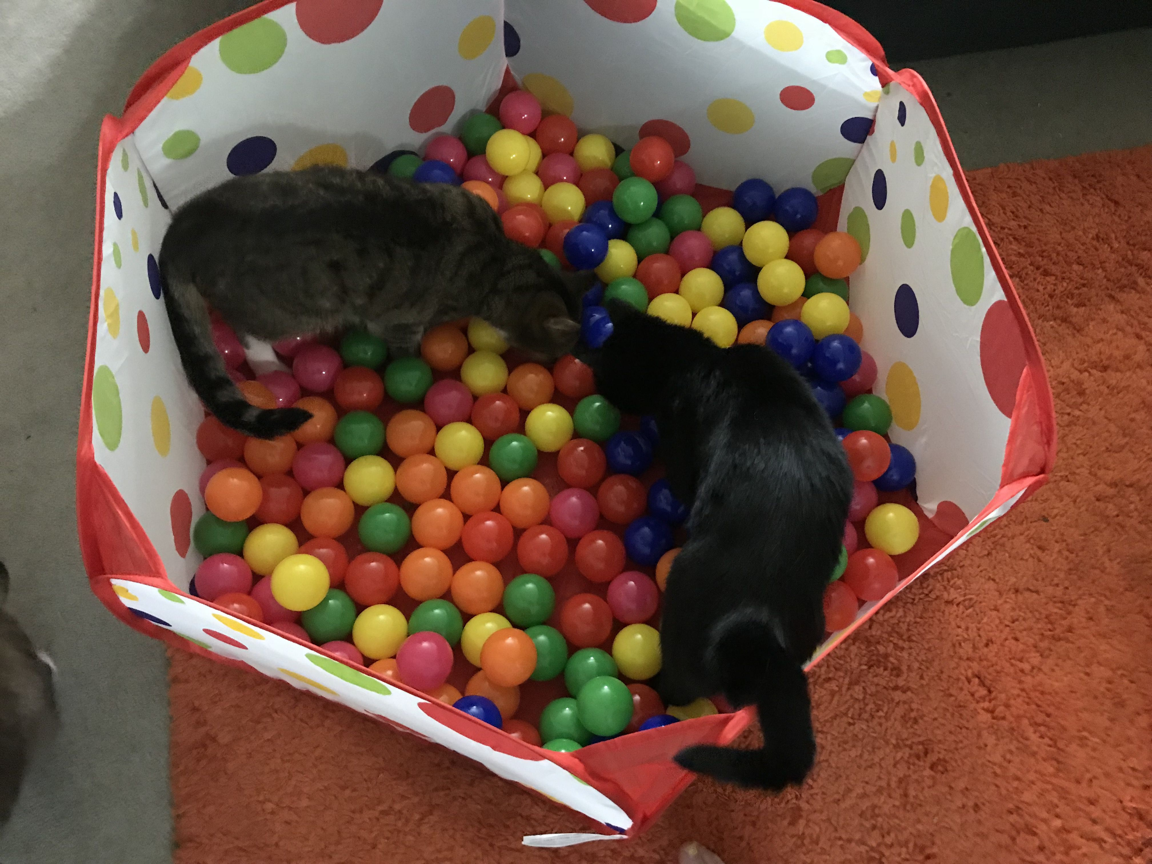 two cats in a ball pit searching for treats