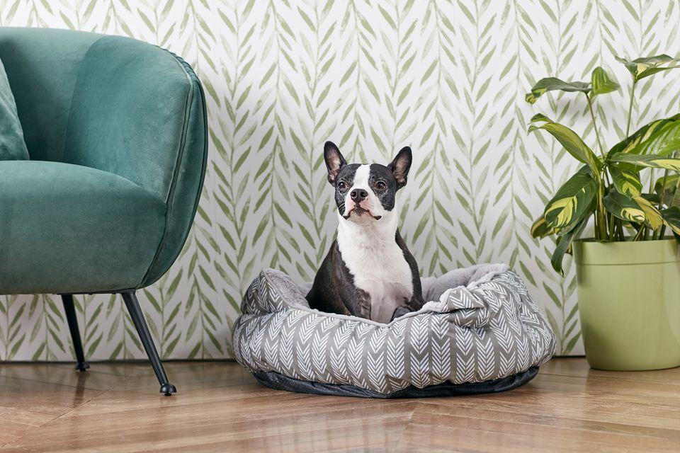 Un Boston Terrier en su cama de perro