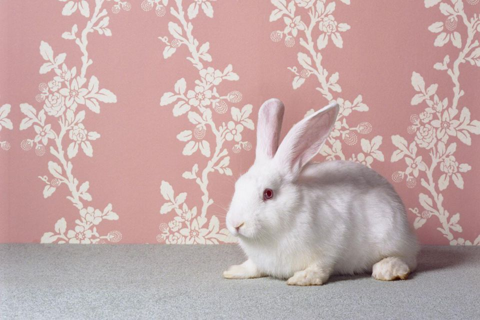 White rabbit (Oryctolagus cuniculus sp.) in front of floral wallpaper