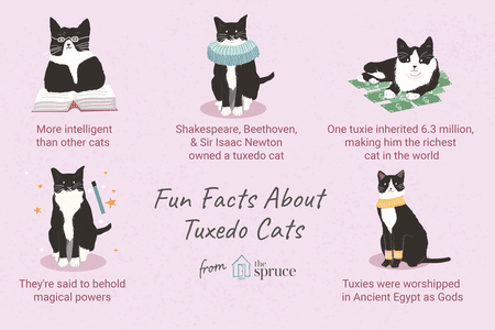3d76ce4df1 8 Fun Facts About Tuxedo Cats