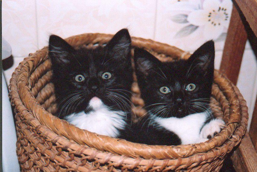 Two tuxedo kittens in a basket