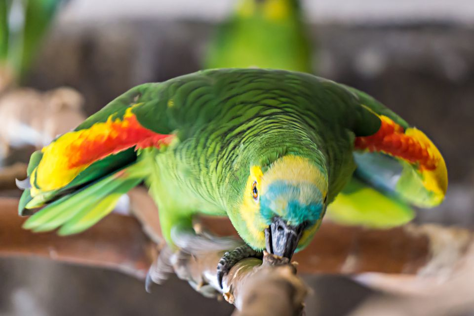 Close up of a green parrot