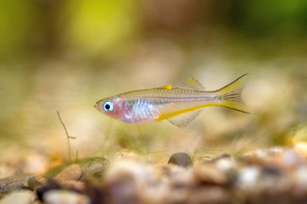 Small forktailed rainbowfish near bottom of fish tank with pebbles