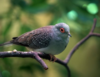 Diamond dove perched on a branch.