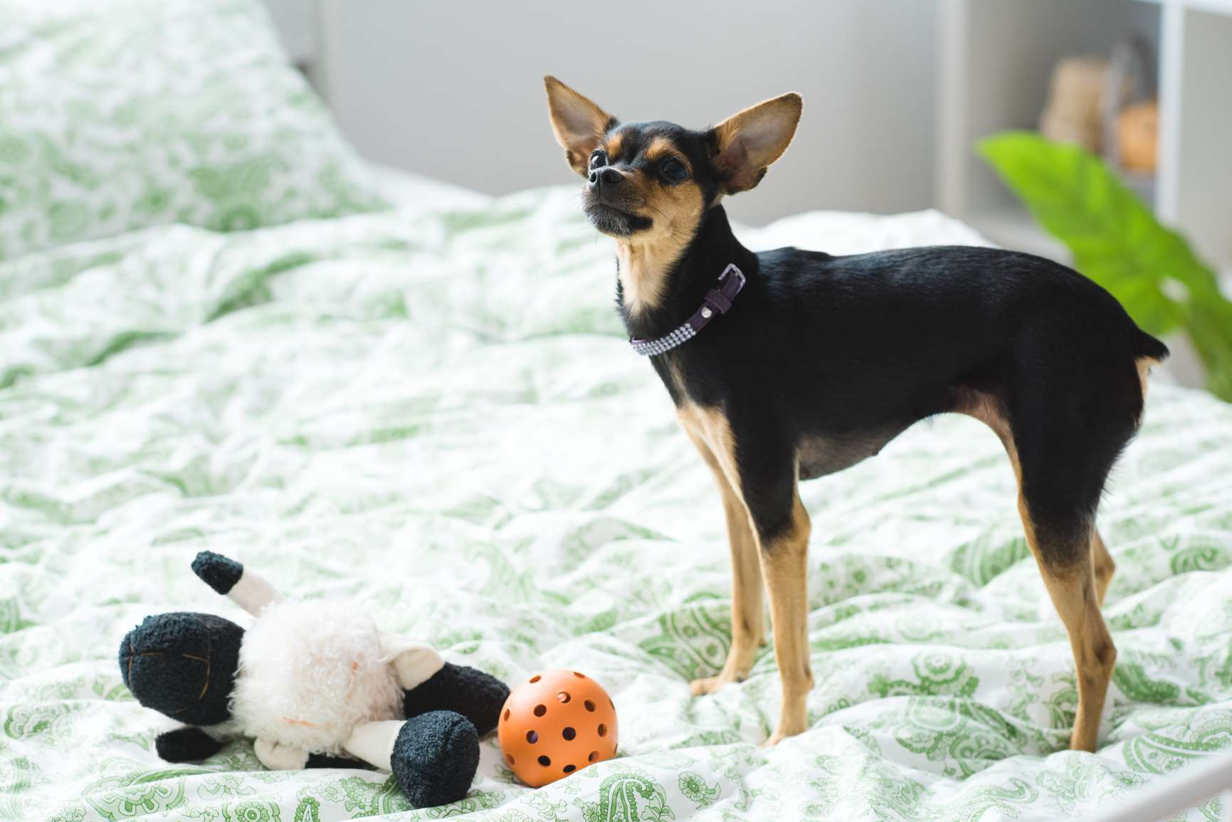 A Miniature Pinscher on a bed with toys