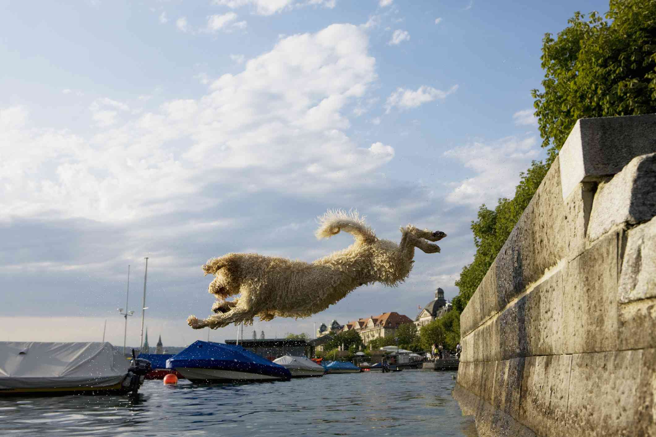 Portuguese water dog leaping into water
