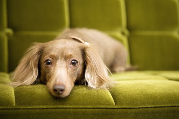 Brown dachshund lying on a green couch.