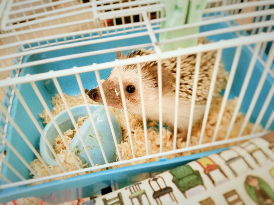 High Angle View Of Hedgehog In Cage