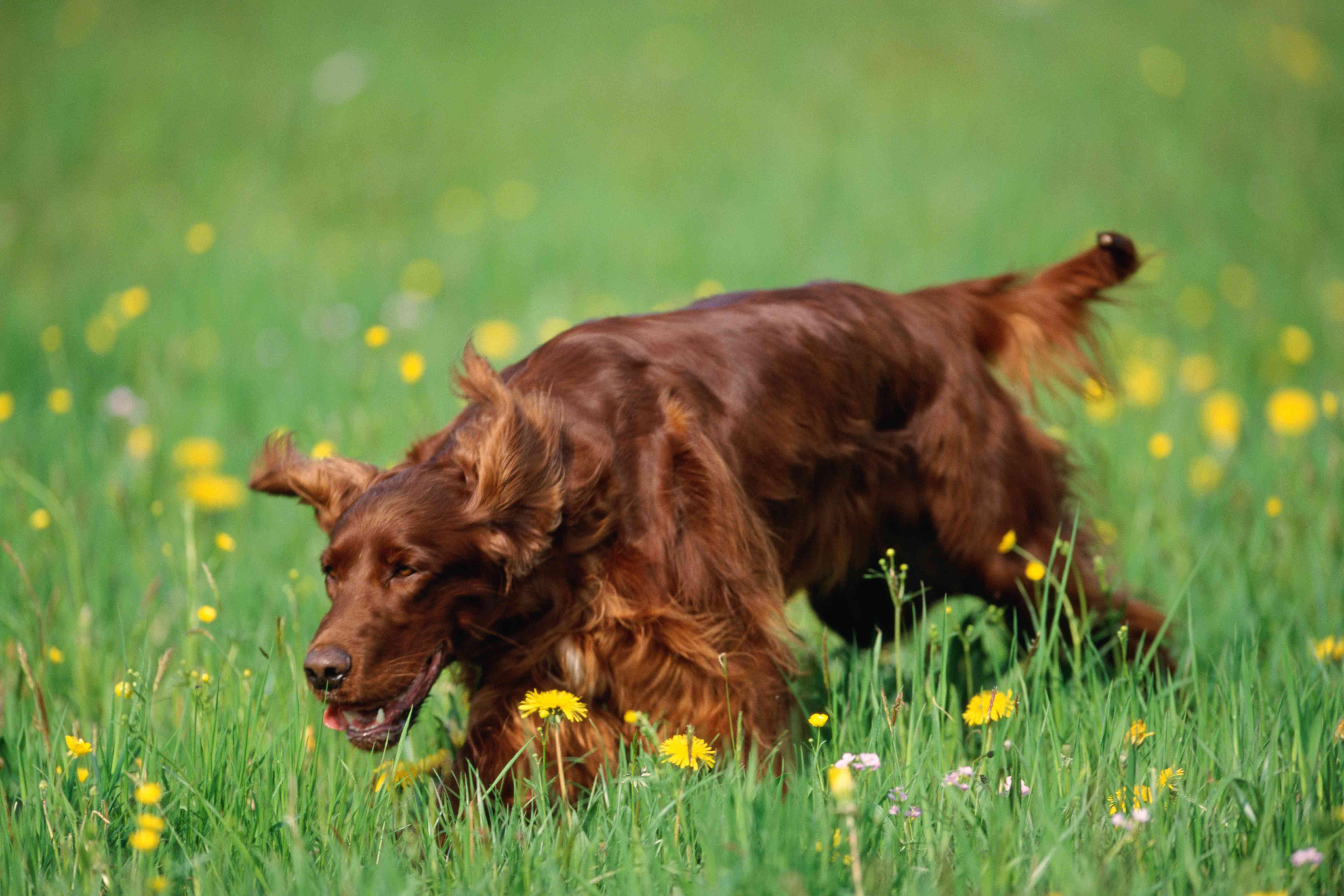 Irish setter running through grass