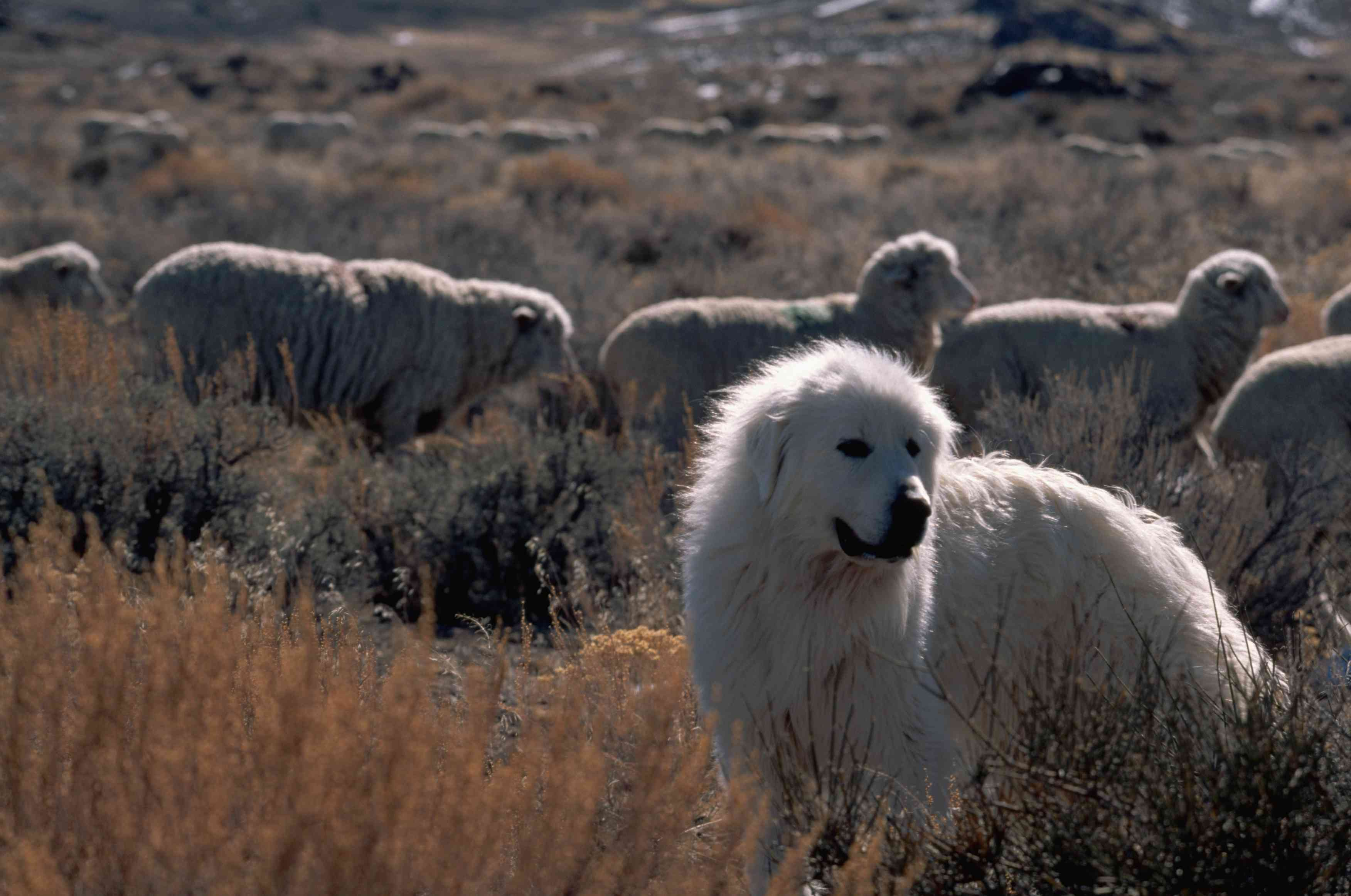 Great Pyrenees in field with sheep