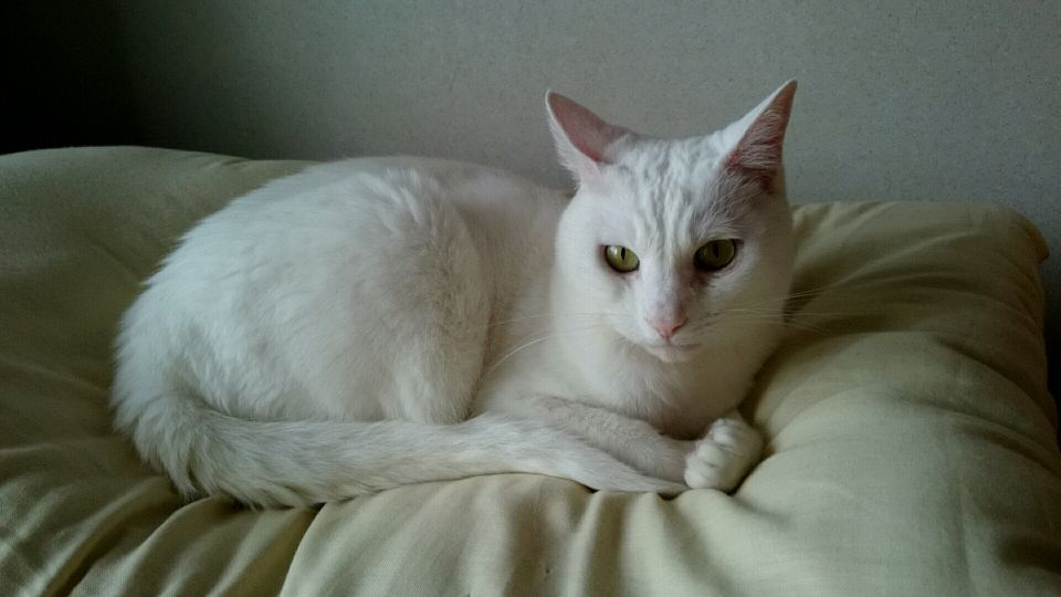gato sordo acostado en la cama