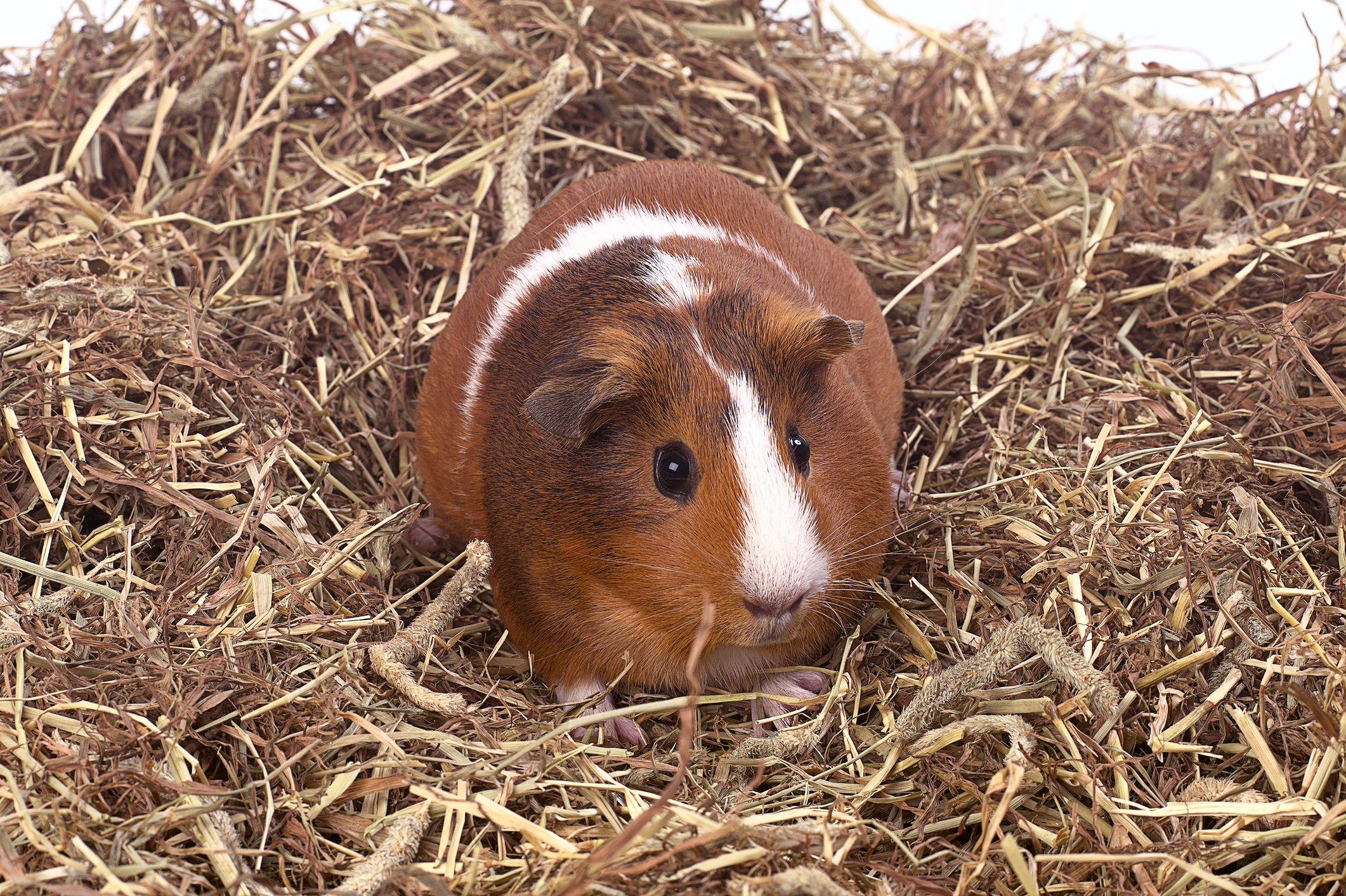 Guinea pig in hay