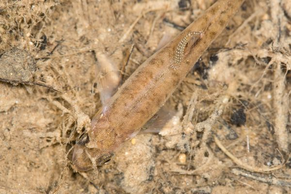 Leech on the back of a fish