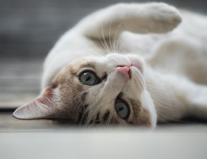 Portrait of cat lying on back