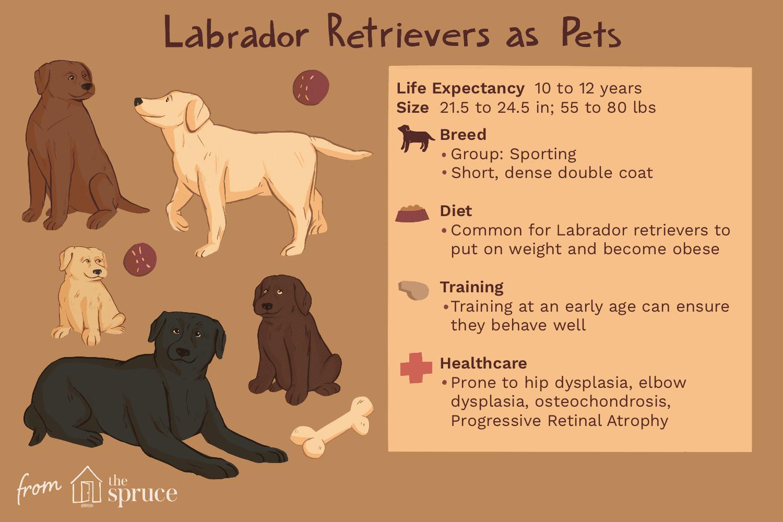 Labrador retrievers como ilustración de mascotas
