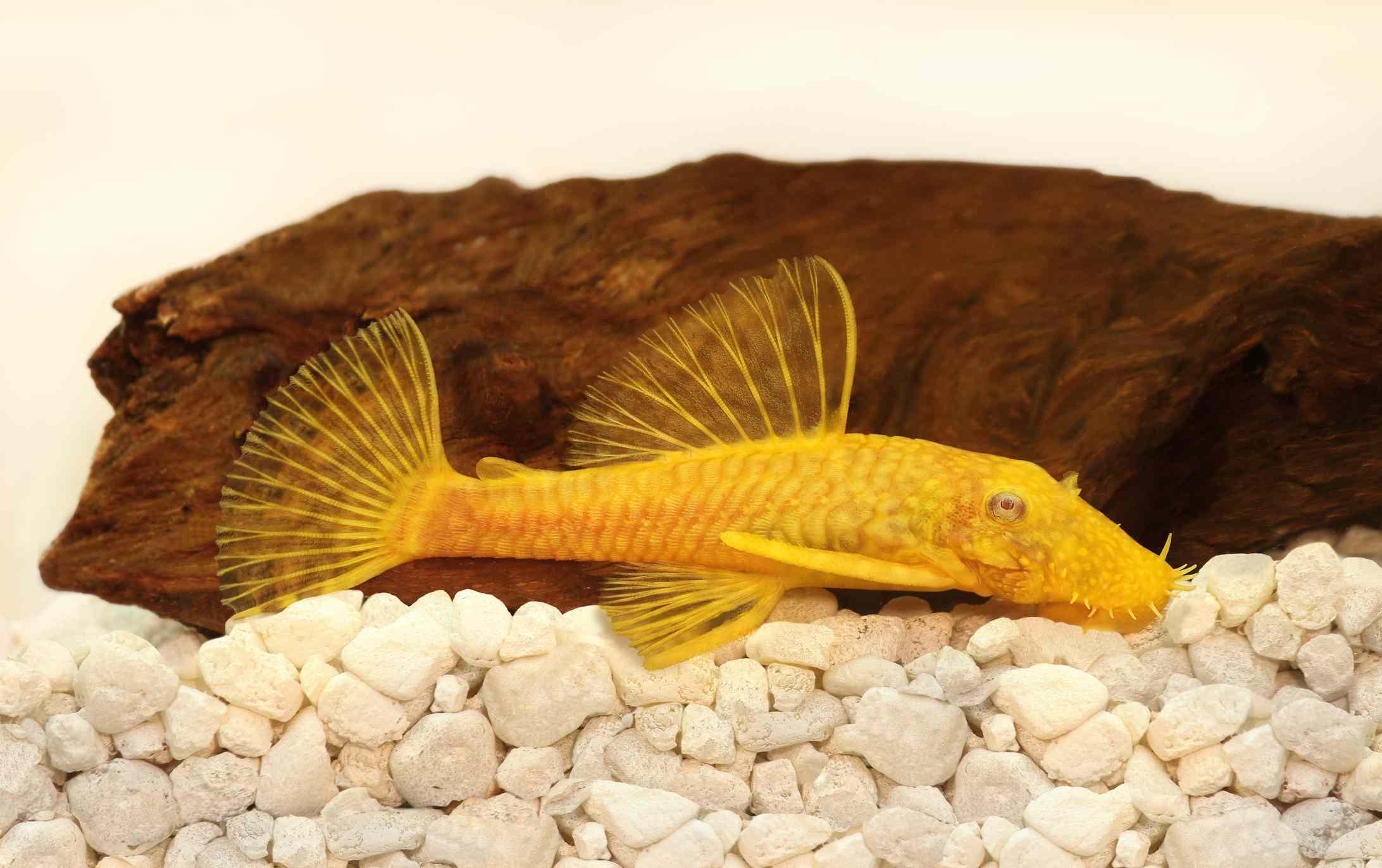 Yellow Bushy-Nose Plecostomous