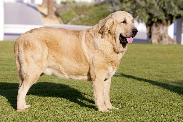 Spanish Mastiff (Mastín Español)