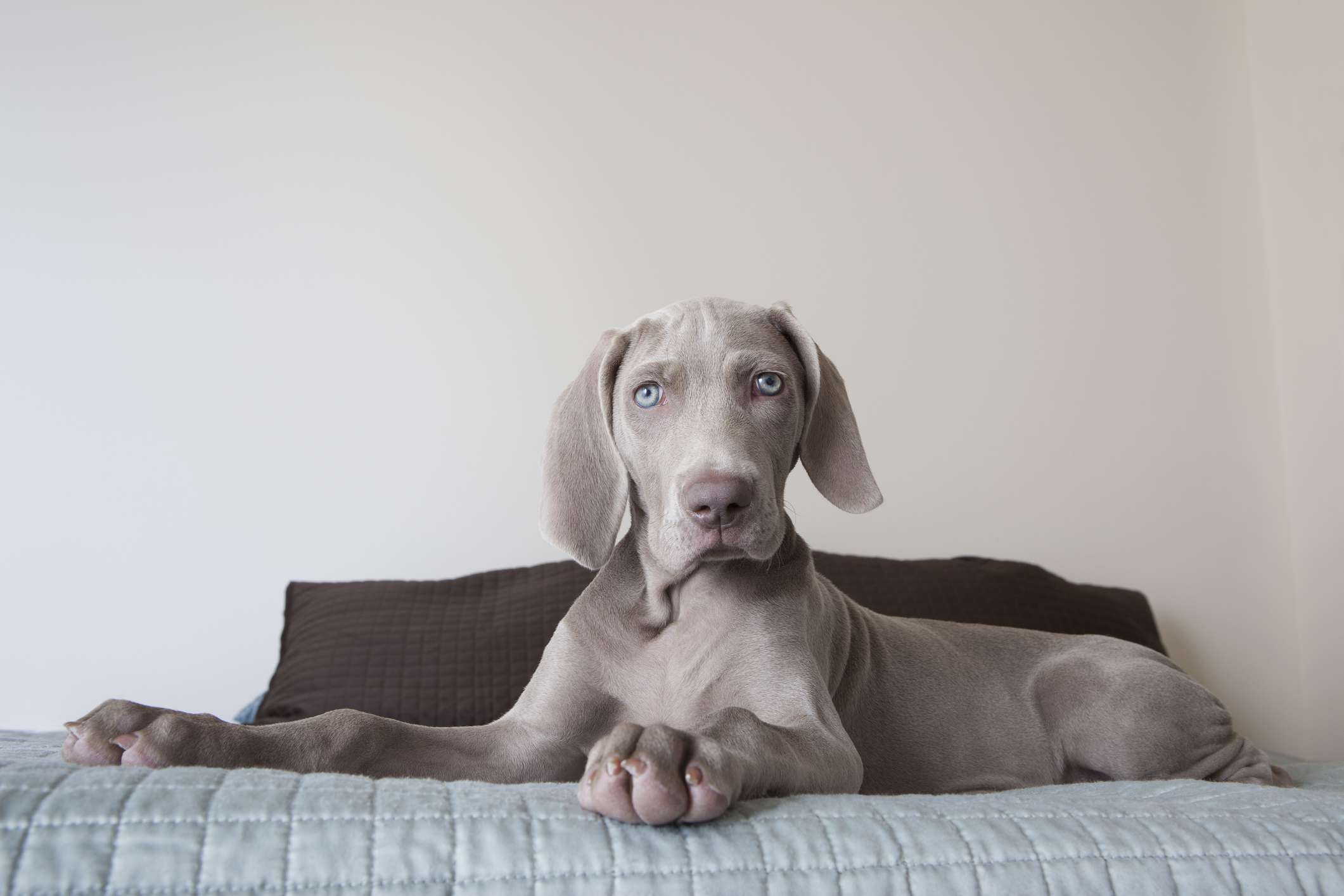 Gray Weimaraner with blue eyes on bed looking at camera.