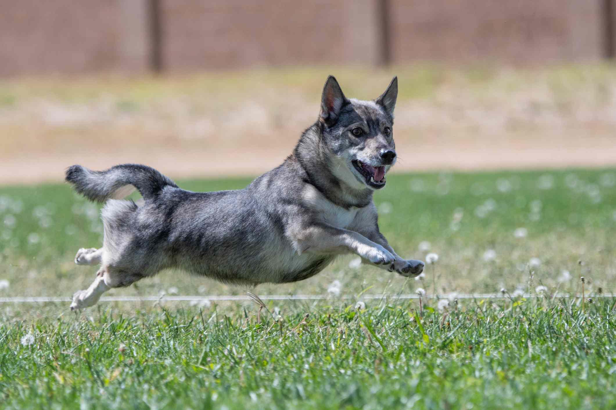 Swedish Vallhund running on grass