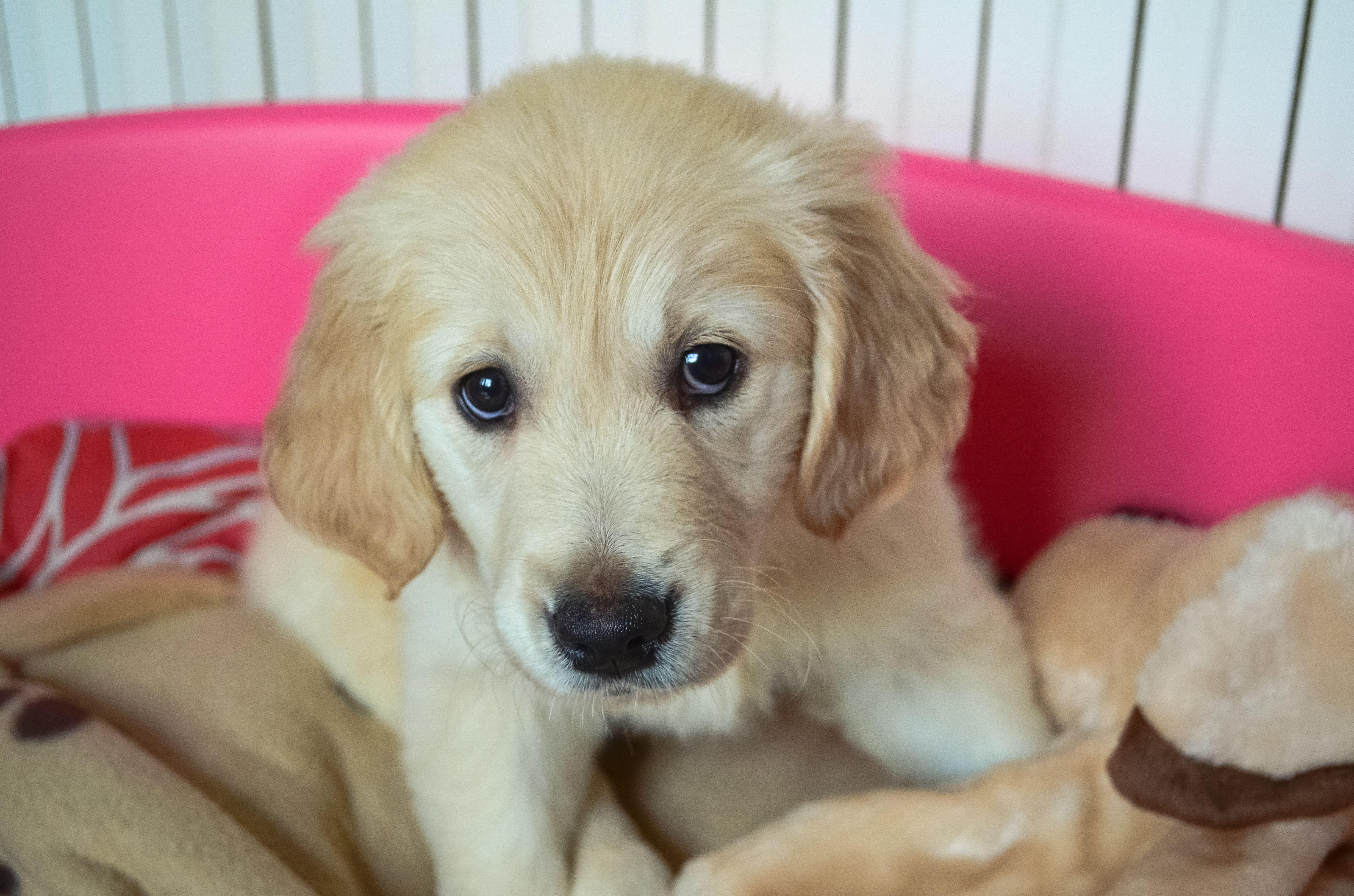 Golden Retriever Puppy Pleading Innocence