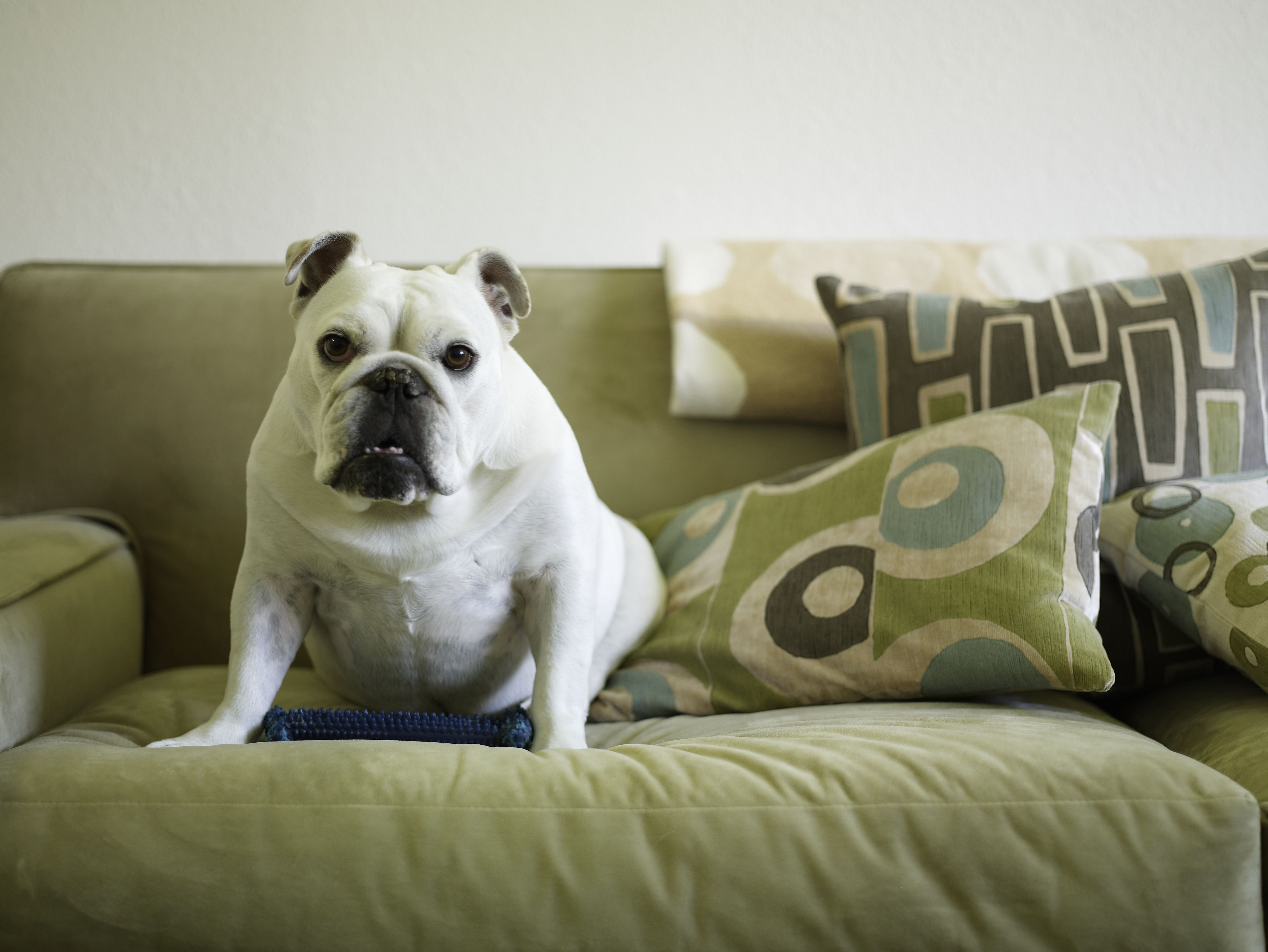 Bulldog dogs for apartments
