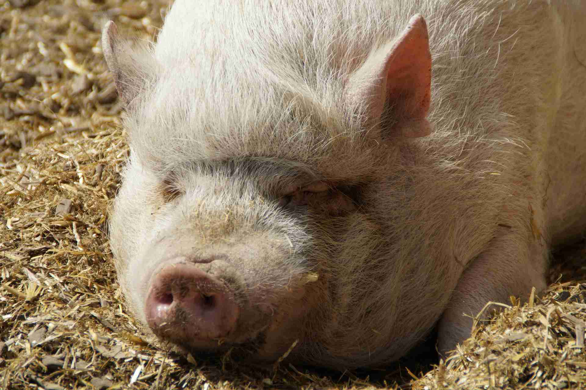A close-up of a potbellied pig.