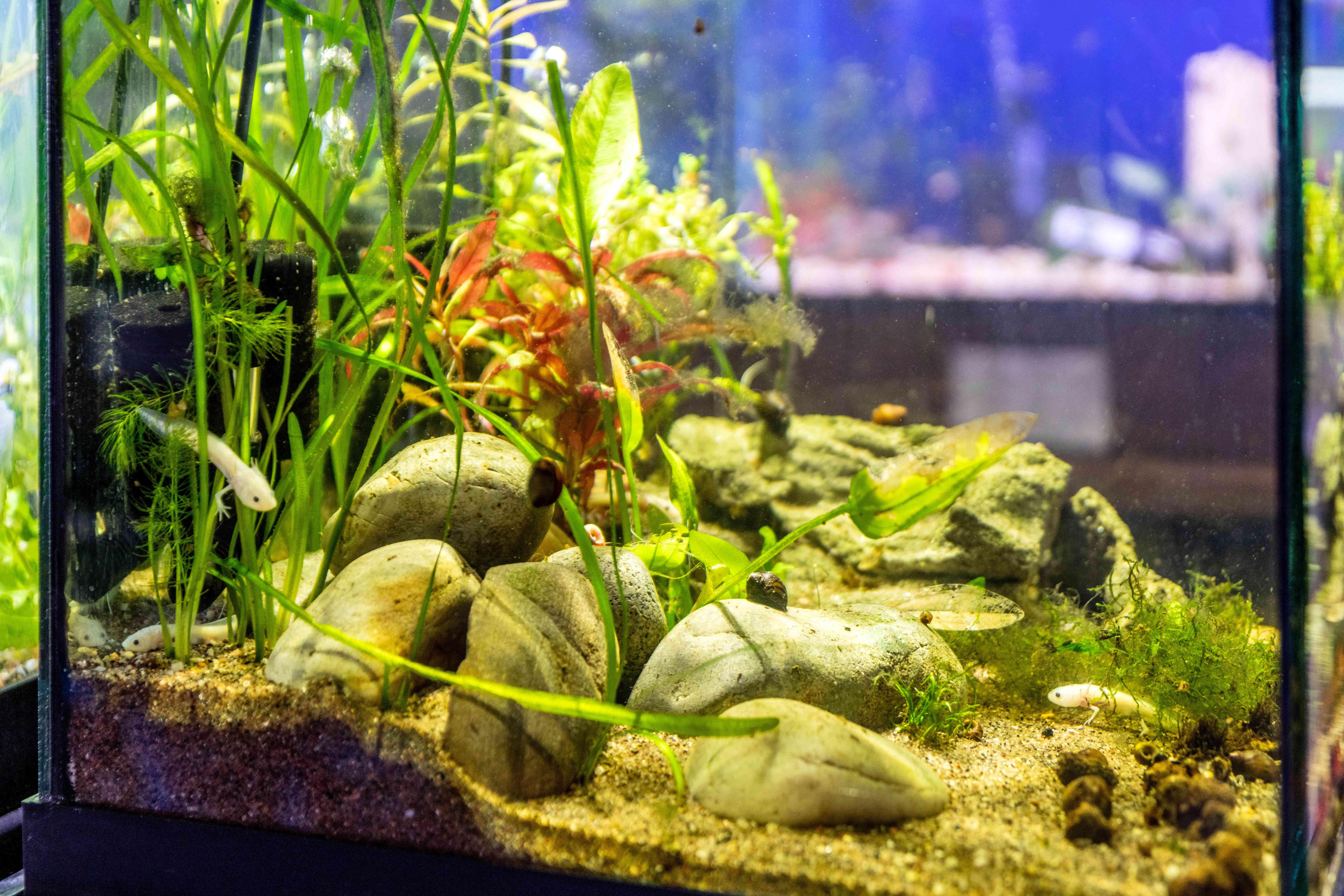 Small white axolotl pet swimming in tank with large rocks and tall vegetation