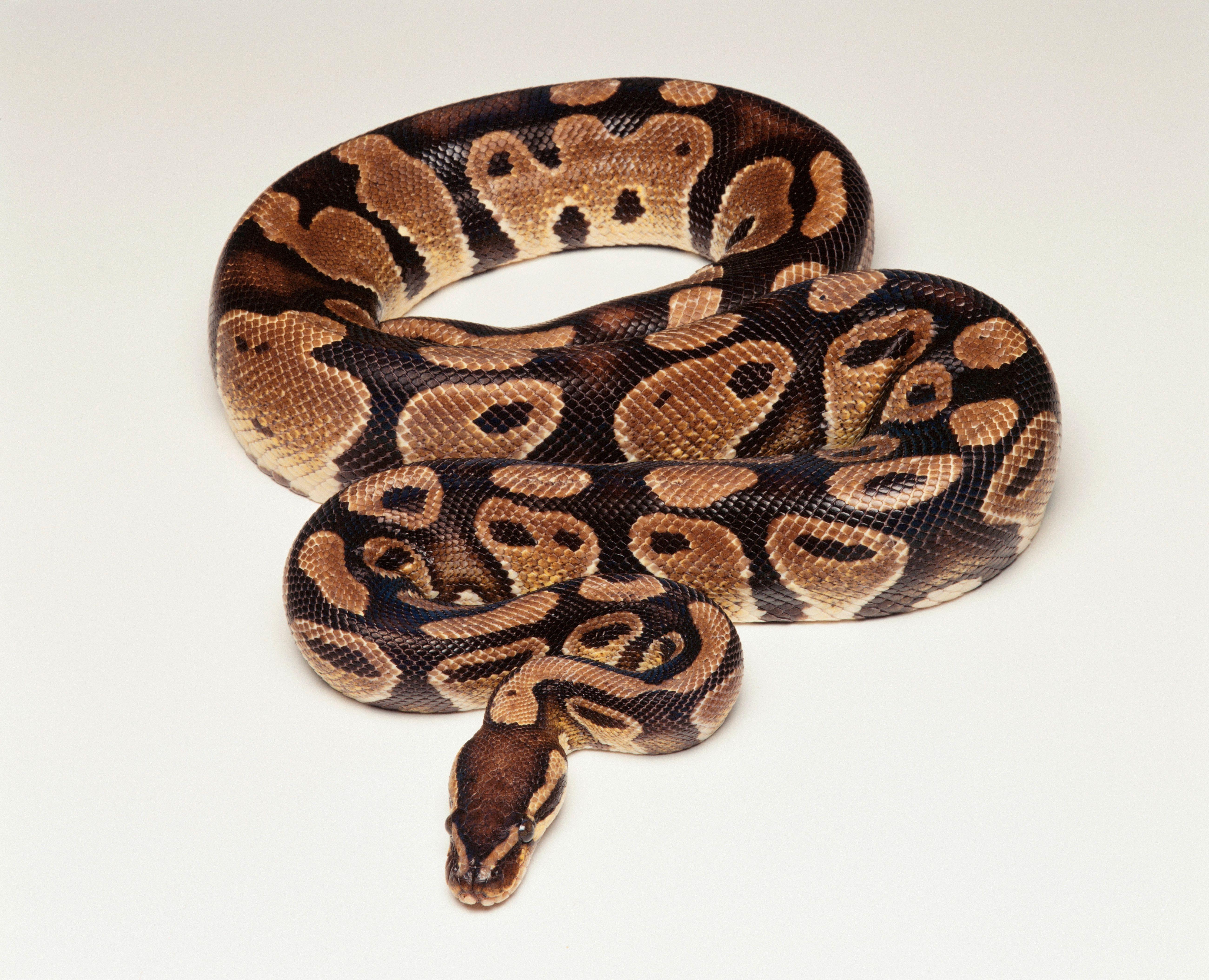 Royal Python / Ball Python (Python regius), foto de estudio