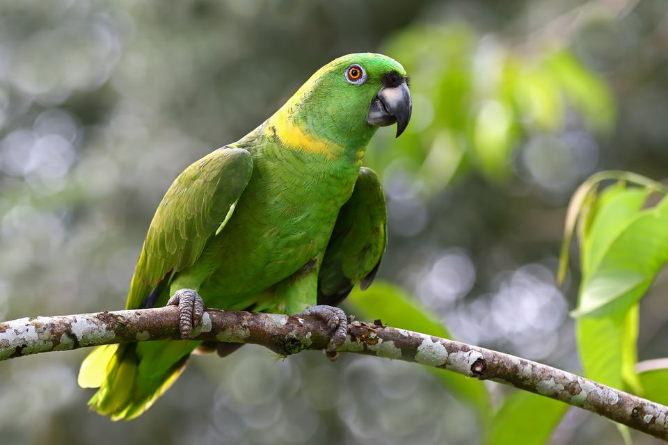 Yellow-napped parrot (Amazona auropalliata), Costa Rica