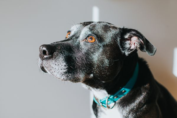 Lenticular Sclerosis in Dogs