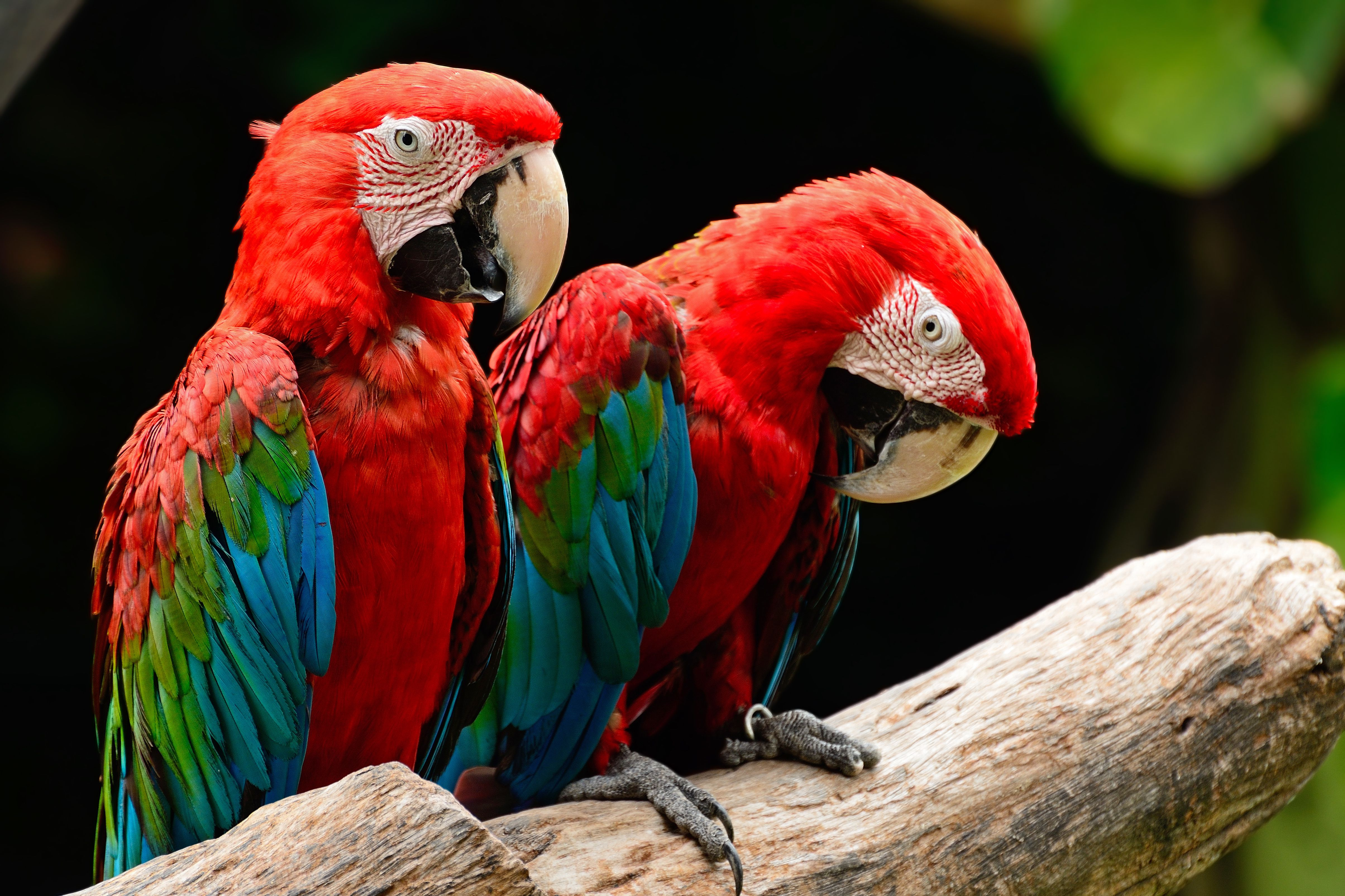 two green-winged macaws on a branch