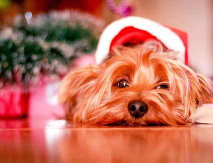 A dog wearing a Santa hat and pouting.