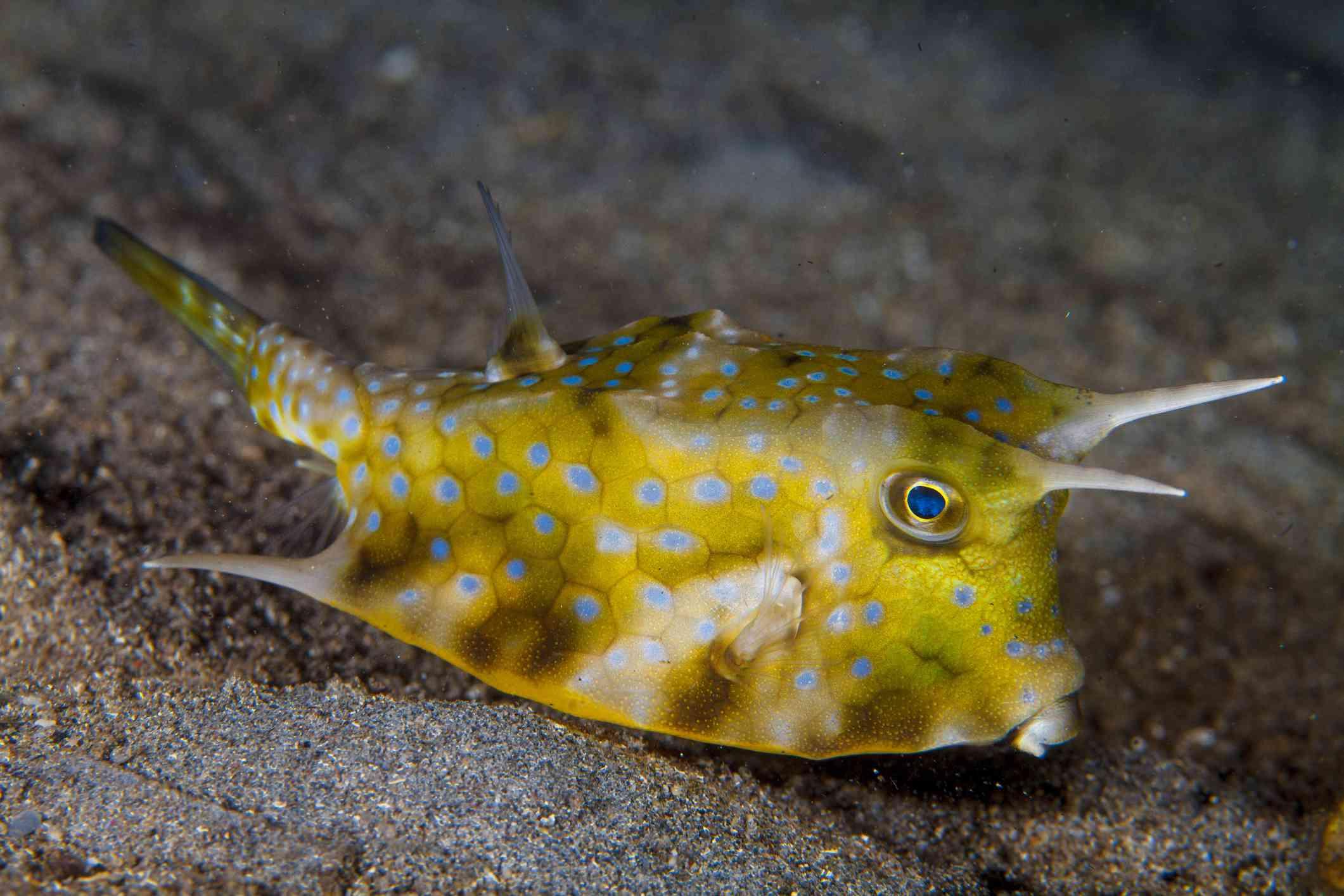 Longhorn Boxfish