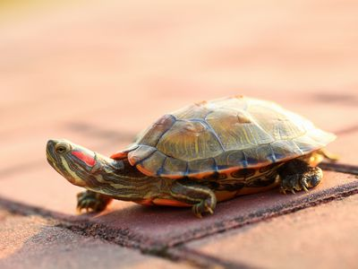 What to Do If Your Turtle Is Shedding