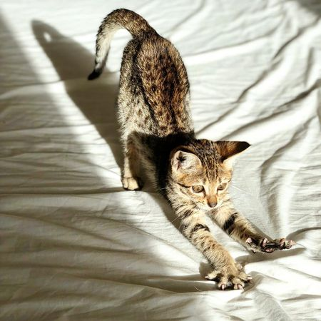 Pictures and Facts About Bengal Cats and Kittens