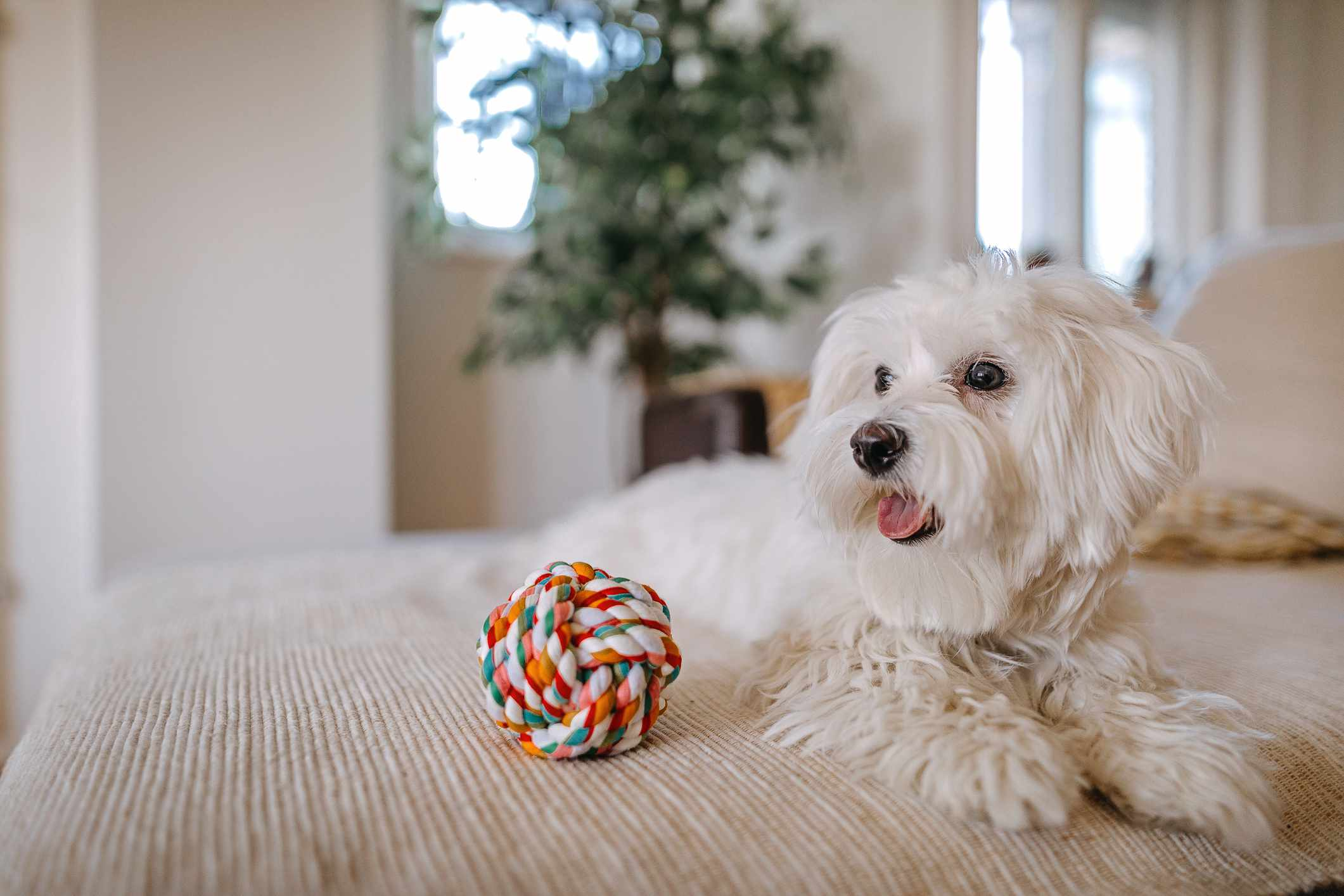 Maltese dog sitting on a couch.