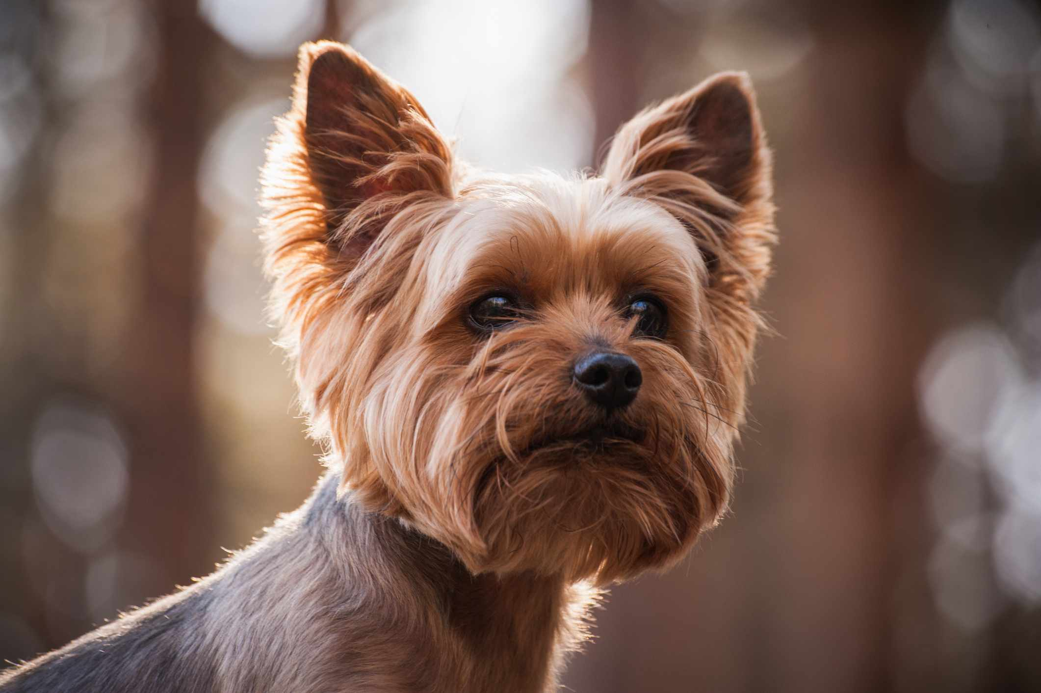 Close up headshot of a Yorkshire terrier