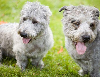 glen of imaal terriers