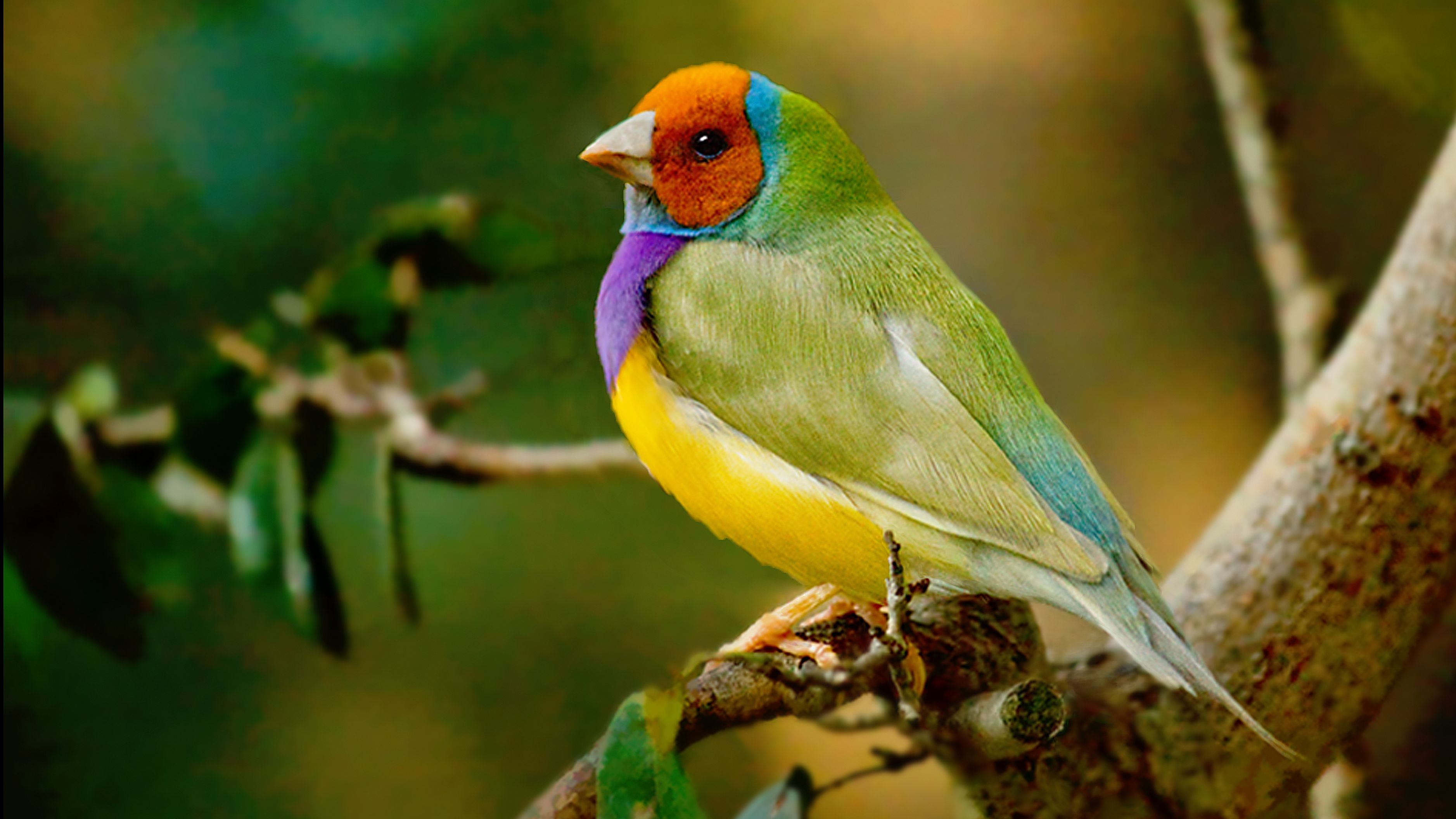 Gouldian Finch — Full Profile, History, and Care