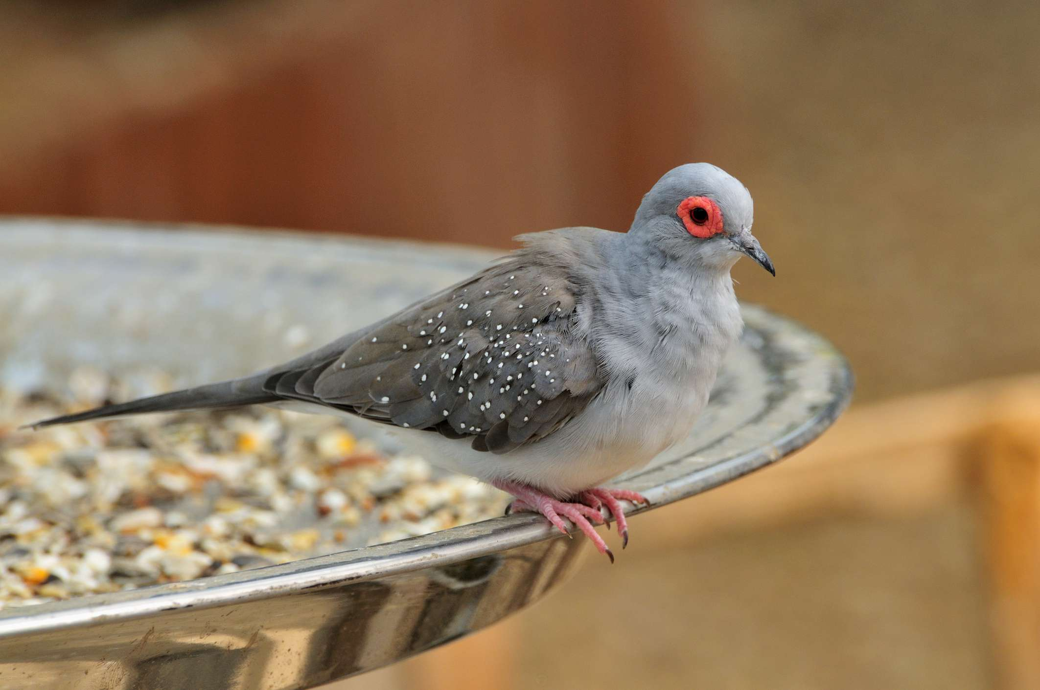 pet dove in a food dish