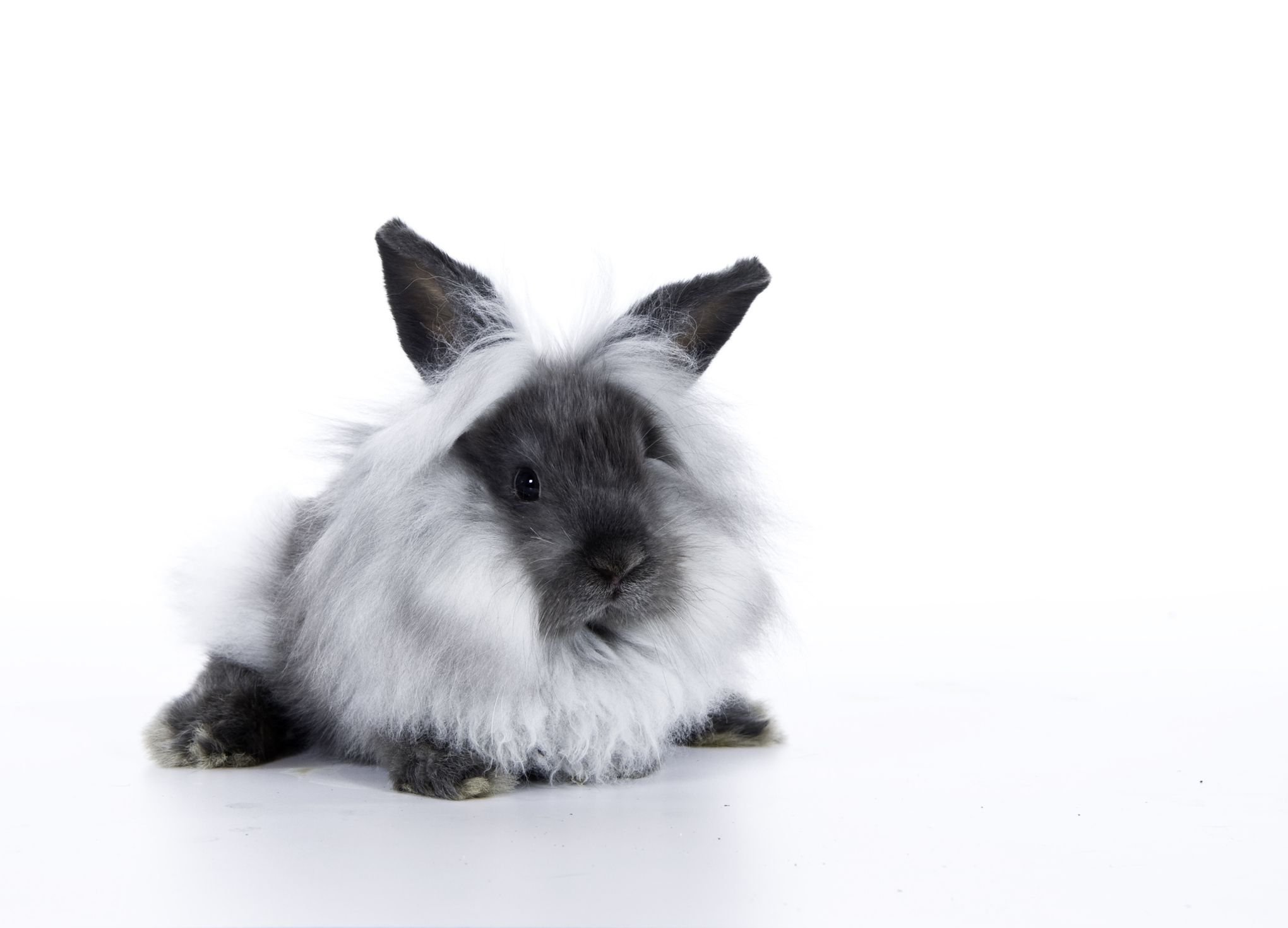 The playful, smart, energetic, cute and timid Lionhead Rabbit